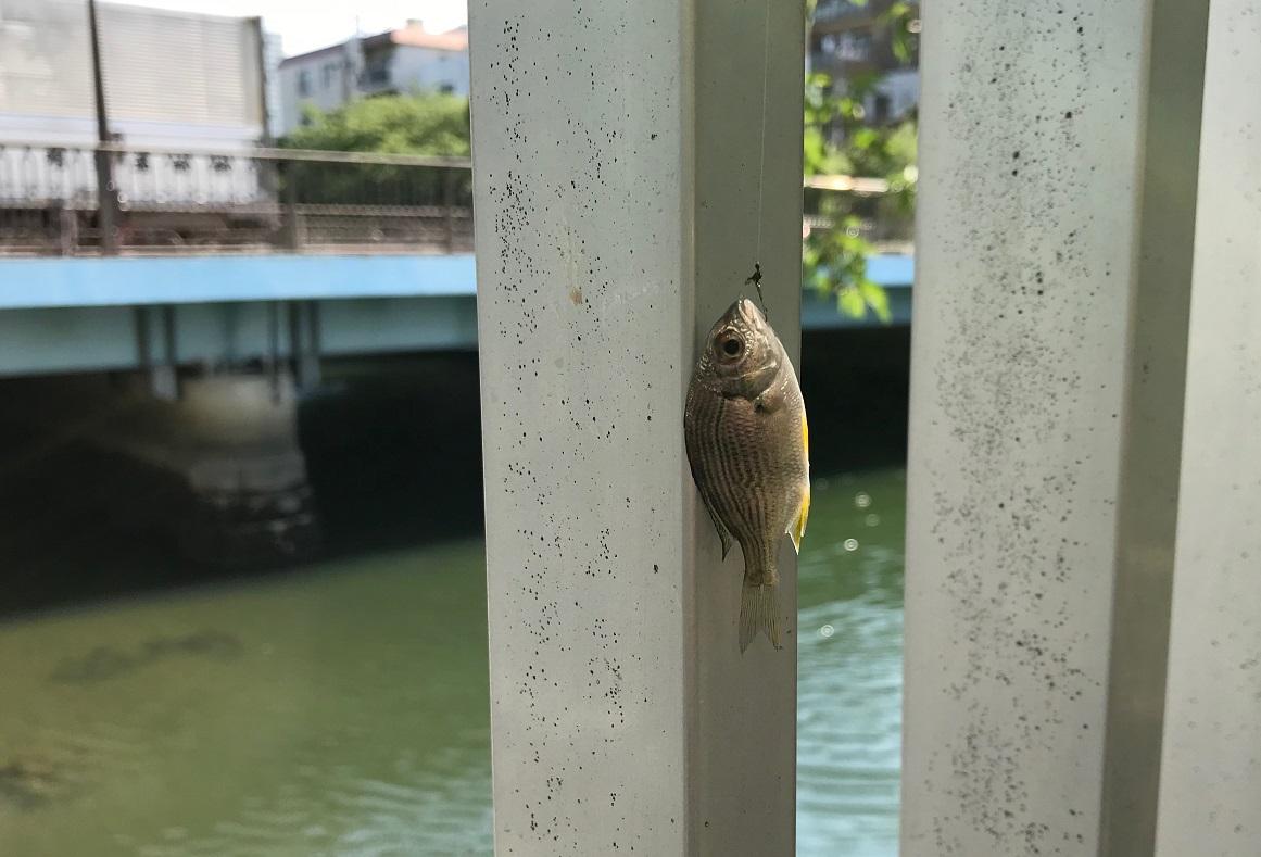 菊川橋 釣果 チヌ