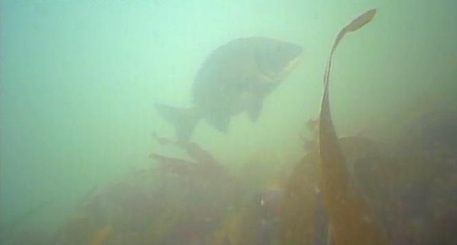 御宿岩和田漁港 水中写真 クロダイ02