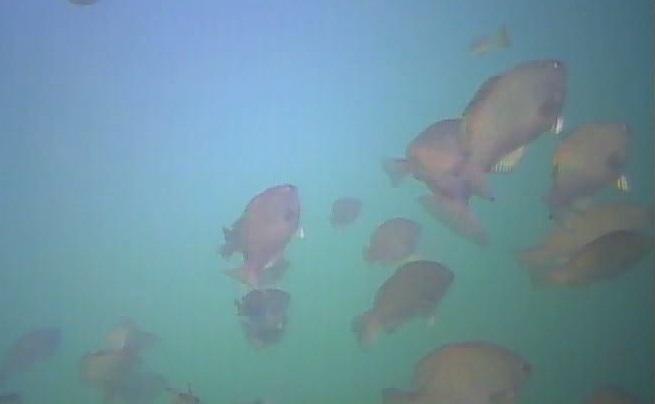 御宿岩和田漁港 水中写真 メジナ