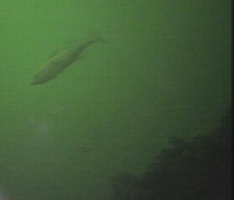 赤レンガパーク 水中写真セイゴ02
