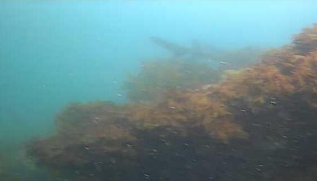 城ヶ島 水垂 水中写真04 ドチザメ