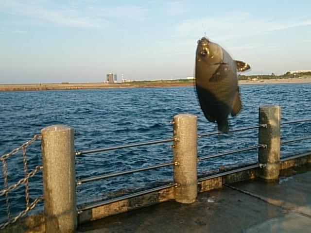 西海岸第一突堤釣果メジナ02