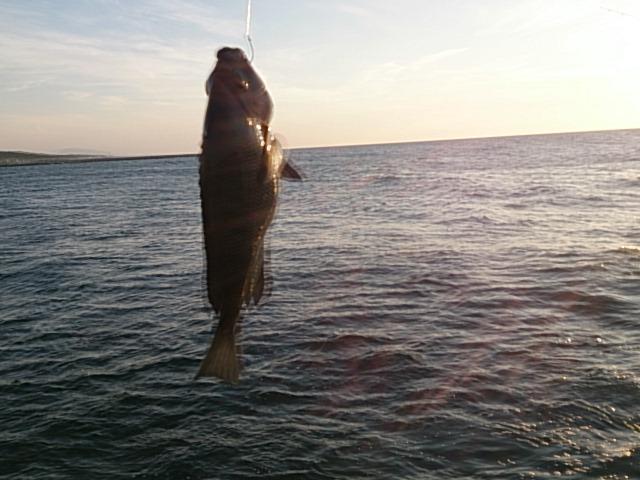 西海岸第一突堤釣果釣果メジナ