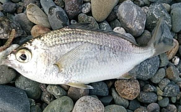 国府津海岸 釣果クロサギ