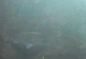 新潟西海岸第1突堤クロダイ
