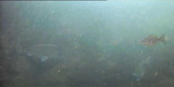 新潟西海岸第一突堤水中写真クロダイ