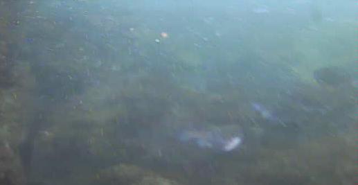 新潟西海岸第一突堤水中写真クロダイ03