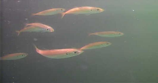 新潟 南船だまり 水中写真01