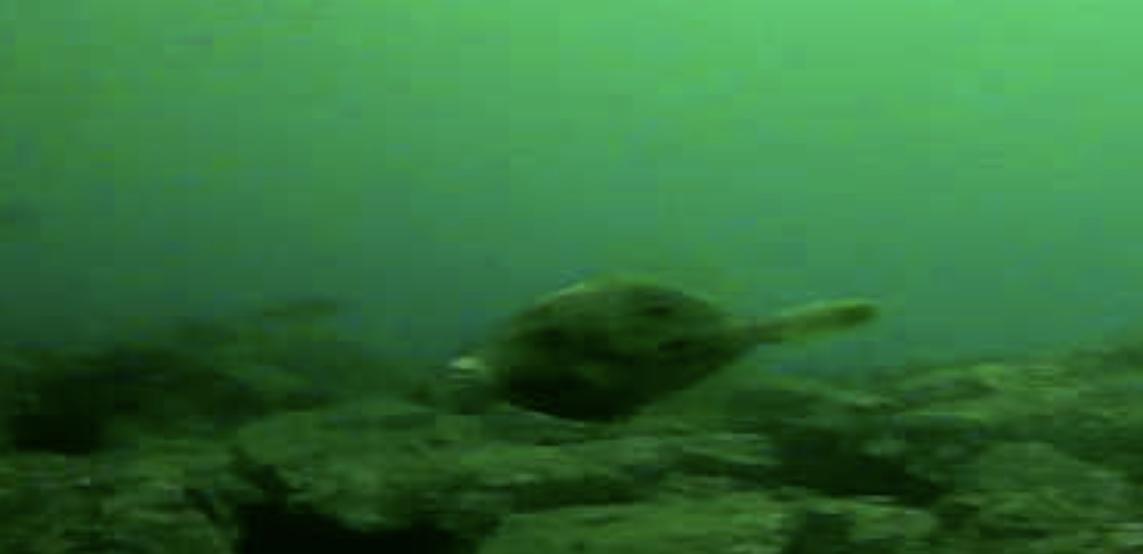 長崎マリア像周辺 水中写真カワハギ