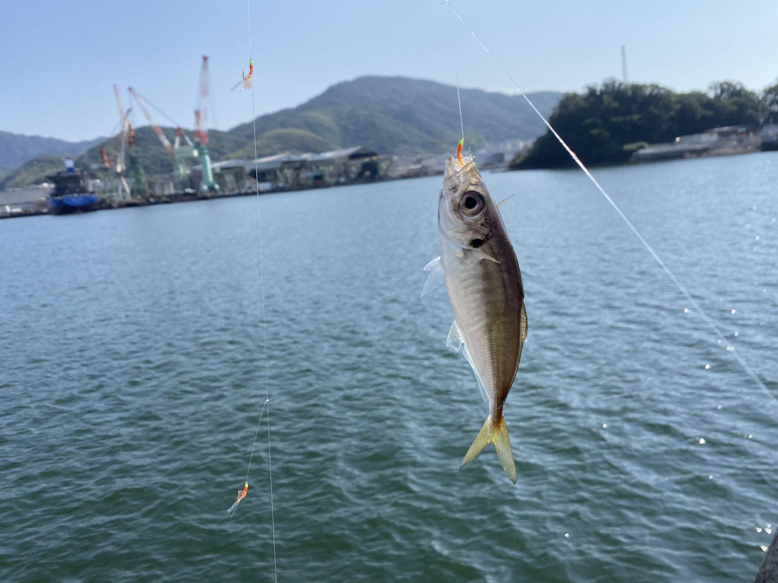 九州スチールセンター横釣果アジ