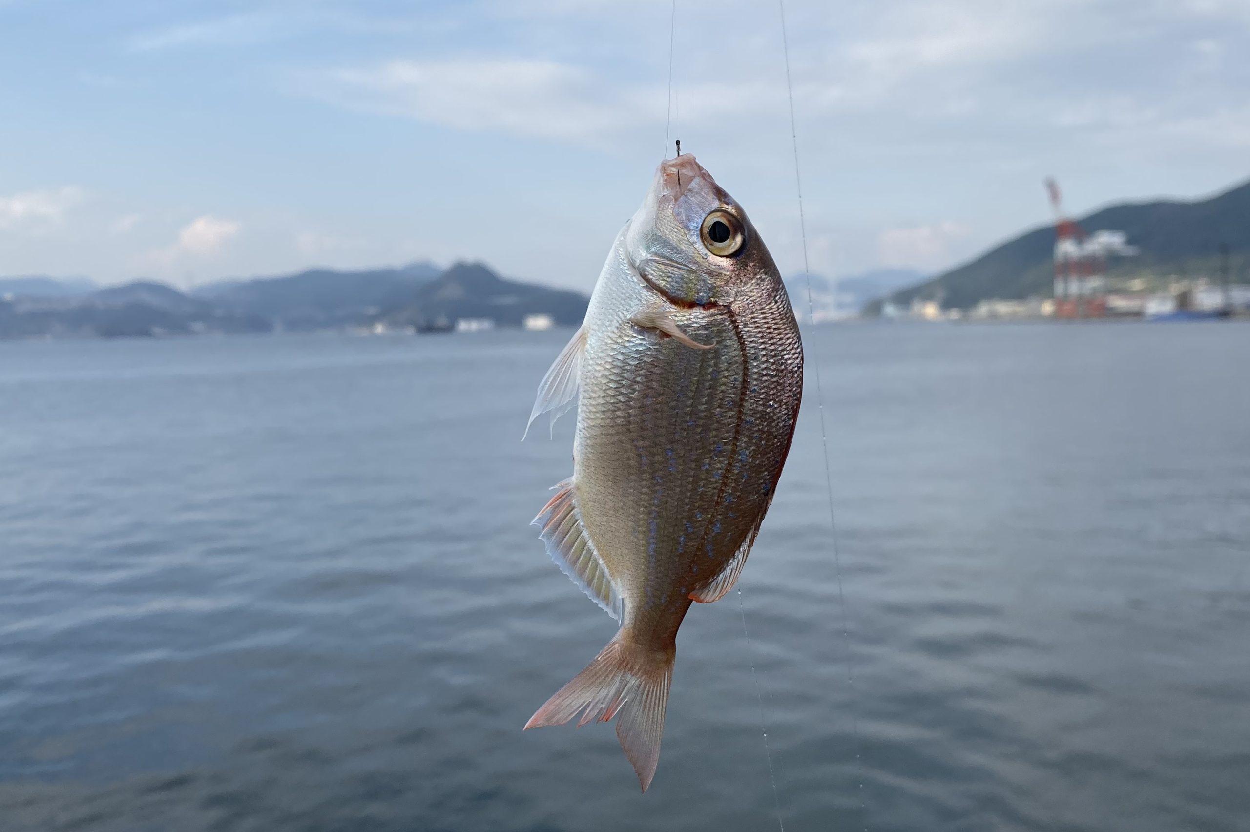 大洋食品前護岸釣果マダイ