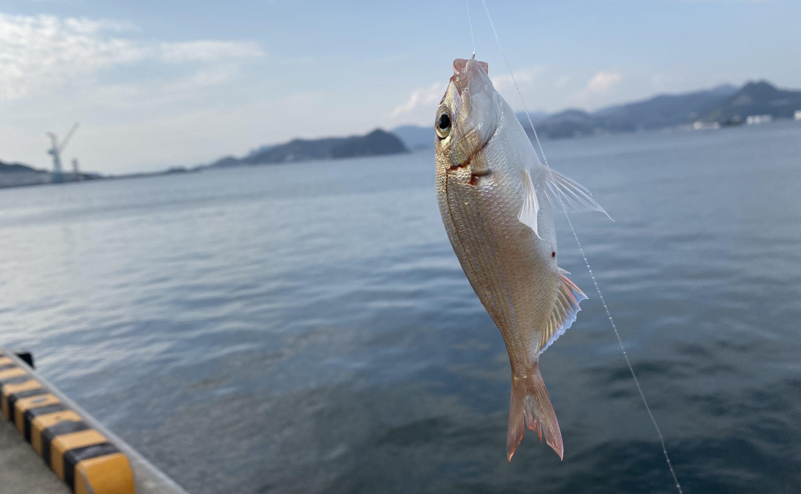 大洋食品前護岸釣果マダイ02