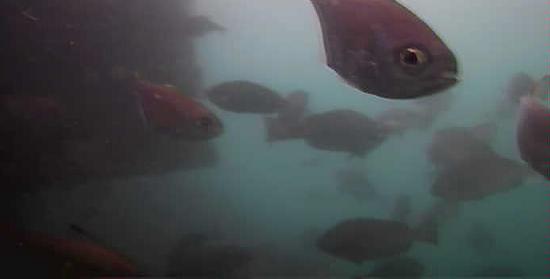 仁科漁港 水中写真04