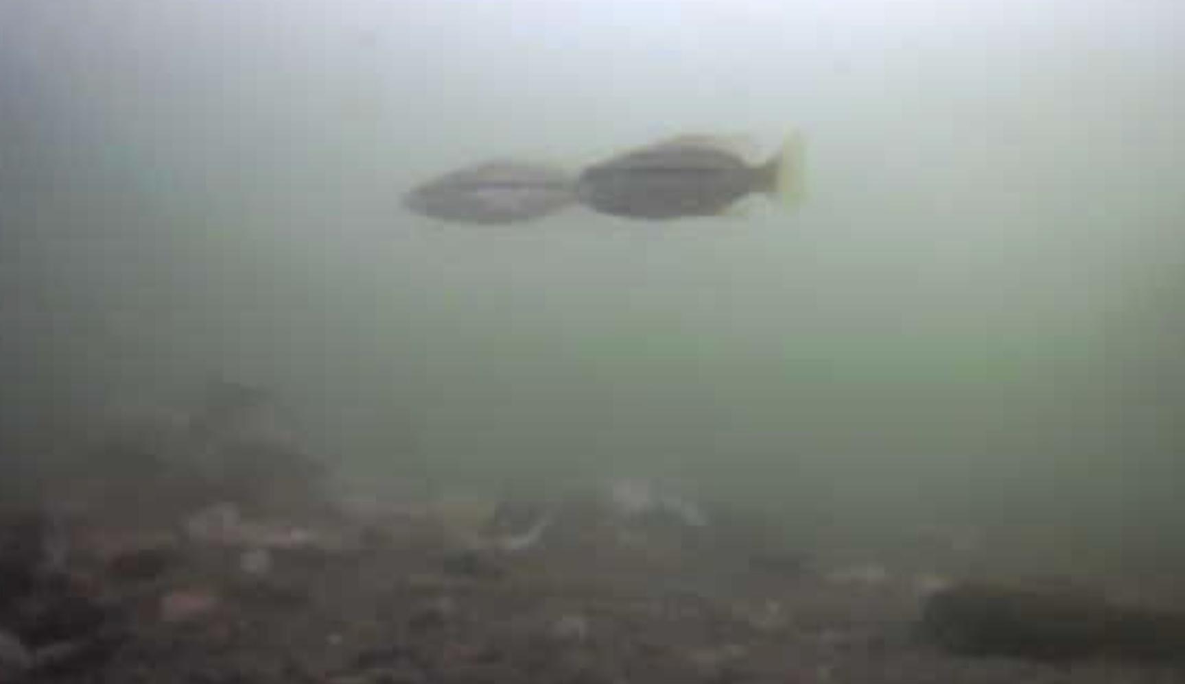 姪浜港マリナ大橋下 水中写真06