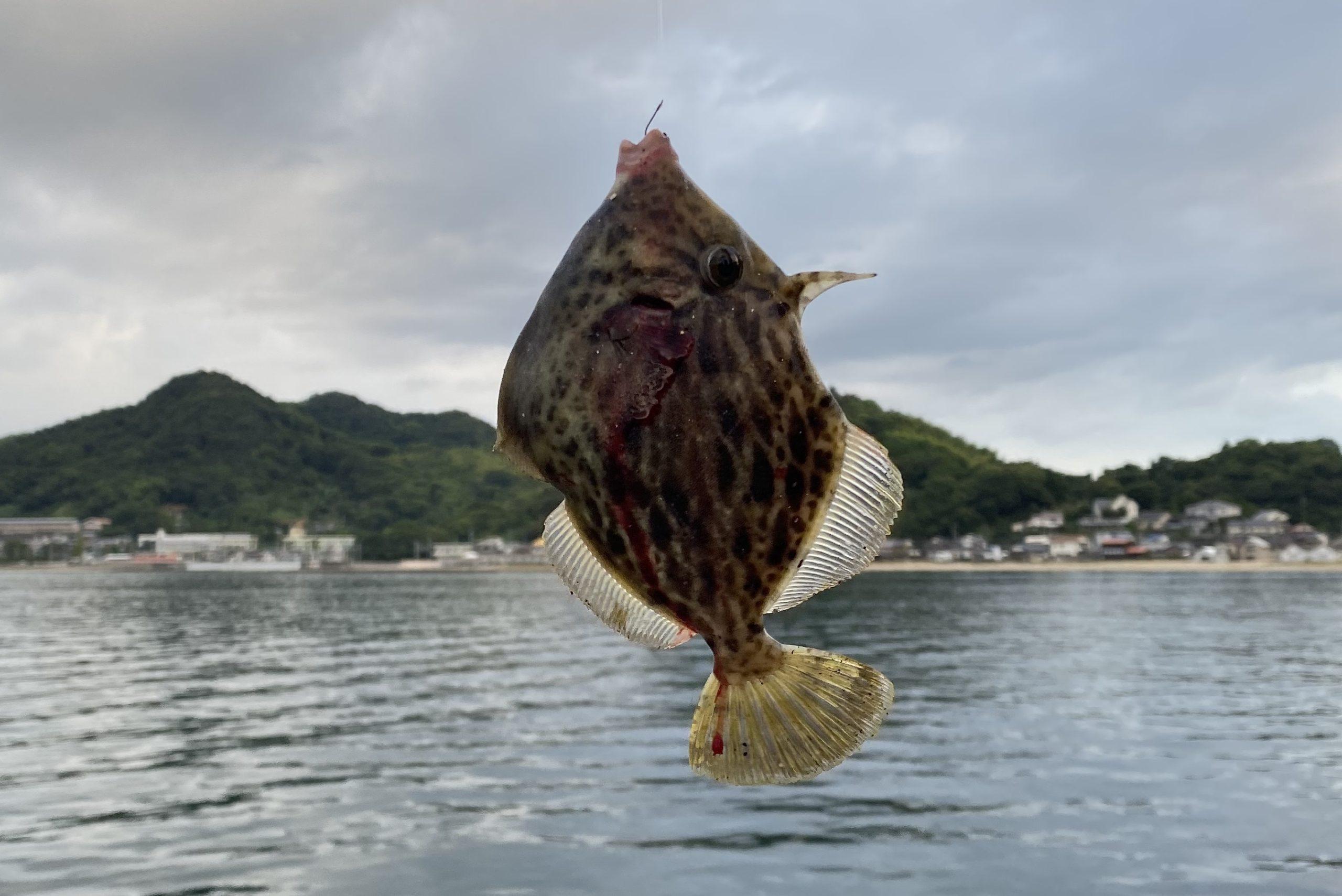 三津埠頭釣果 カワハギ
