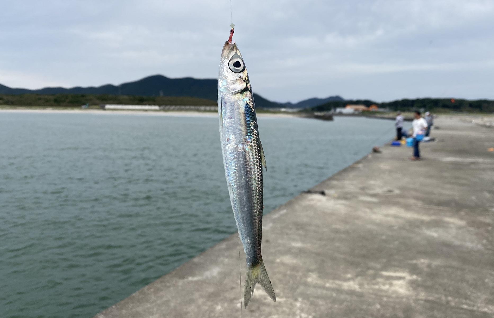 赤羽根港釣果 イワシ