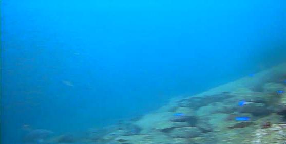 久料護岸 水中写真04 駆け上がりにクロダイ