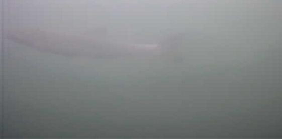吉田港 水中写真 ウグイ