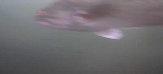 津久井湖 バス釣り 中沢ワンド ブラックバス 水中映像01