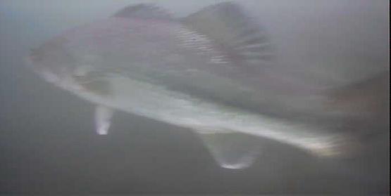 津久井湖 三井大橋下 水中映像 ブラックバス06