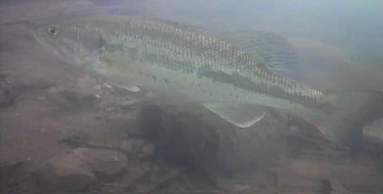 津久井湖 中村ボート横 ブラックバス水中画像07