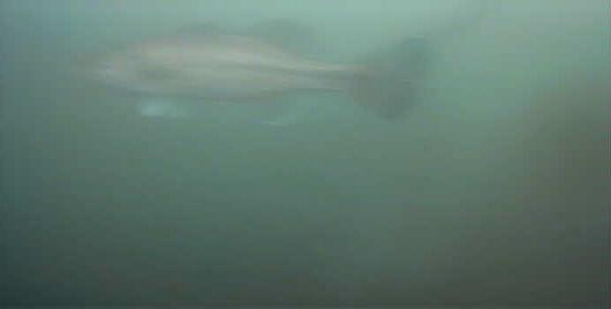 津久井湖 中村台地 水中写真 ブラックバス01