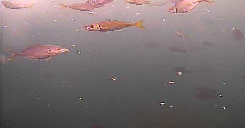 仁右衛門島 水中写真 アジ シマアジ