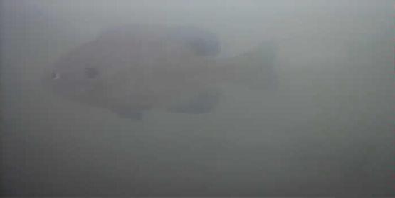 津久井湖 ブルーギル 水中映像